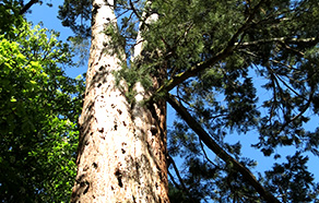 危険木・大径木・高木の伐採など、何でも対応出来ます。